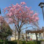 小日向児童遊園 紅八重枝垂桜、佐野藤右衛門